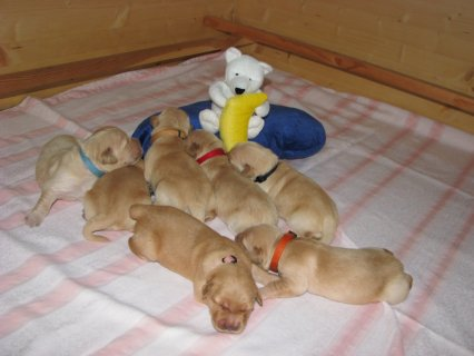 Cute Golden  retriever puppies for adoption