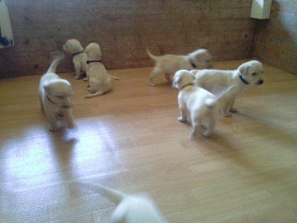 صور Healthy Male and Female Labrador Puppies for adoption 1