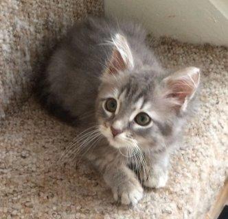 Baby Allergy Siberian Kittens For Rehoming