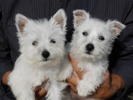 2 Adorable West Highland White Puppies Available Now
