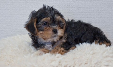 2 Cute Cross Yorkie Maltischon Puppies Cross Maltischon For Re-