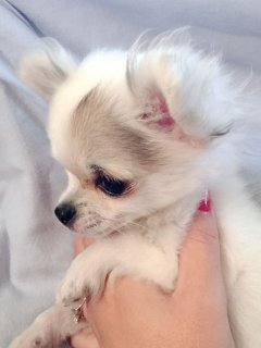 X 2 Beautiful Tiny L/c Kc Chihuahua Boy,Girl X
