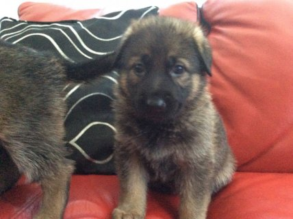 German Shepherd Puppies For Rehoming