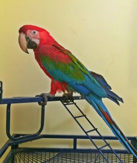 مكاو احمر ( green wings )