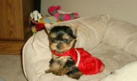 صور Teacup Parti Carrier Yorkie (AKC) 1