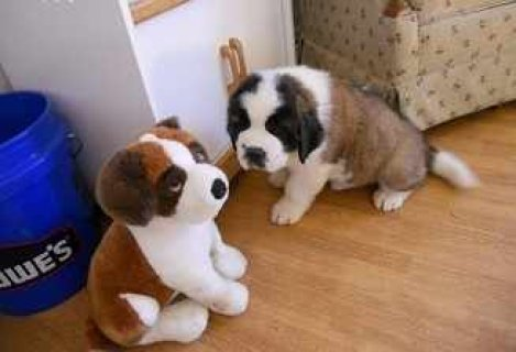 Cuties Saint Bernard Puppies for adoption