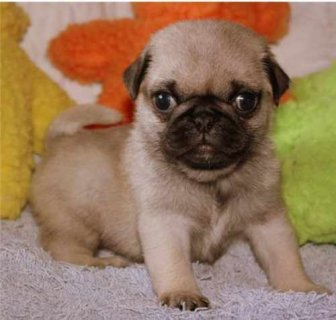 Adorable Registered Pug Puppies needs a home