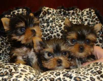 Yorkshire Terrier puppies available,
