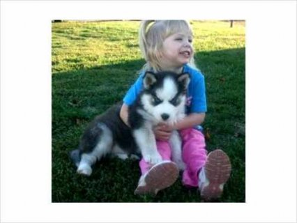 Siberian Husky Puppies Available
