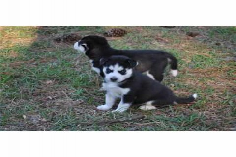 excellent male and female Siberian Husky Pupies for adoption