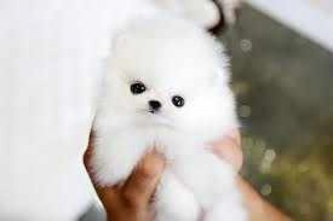 Super Cute Tiny Tea Cup Pomeranian Puppies Available For Adoptio