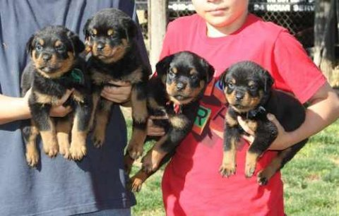 Cute Rottweiler Puppies For Rehoming