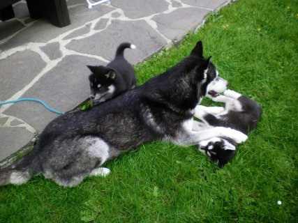 صور Adorable Male and Female Siberian Husky Puppies For Adoption 1