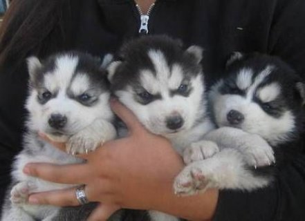Lovely  Siberian Husky Puppies For Sale