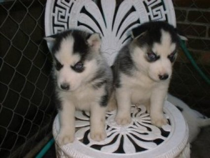 صور Now Going Siberian Husky Puppies For Rehoming  1