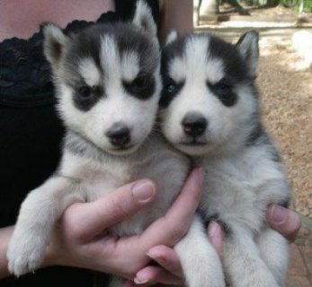 !!Must See Husky Pups Available!!!