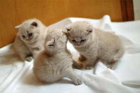 صور Gorgeous British Shorthair Kittens Ready 1