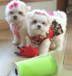 صور Nice Maltese Puppies Ready For A new Home!! 1
