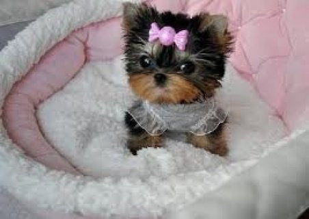 صور  Beautiful Teacup Yorkie puppies, 13 weeks old, looking for a lo 1