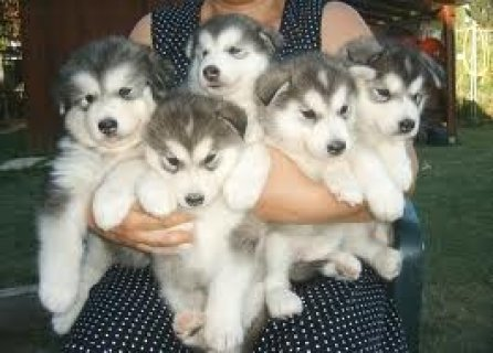 Cute Alaskan Malamute Puppies Available For Xmas
