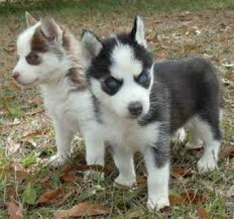 Grand Champion AKC registered Siberian huskies now available