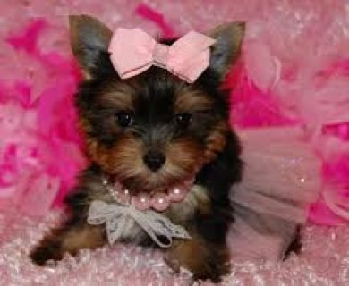 صور Adorable Yorkie Puppies for Re-homing 1