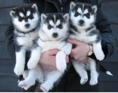 Blue Eyes Siberian Husky Puppies for Available For Xmas