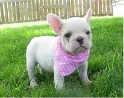 صور Adorable French Bulldogs for Xmas Presents 1