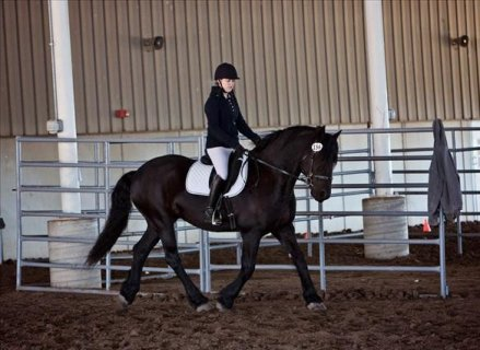 AMAZING AND ENERGETIC FRIESIANT HORSE FOR SALE XMAS GIFT ..