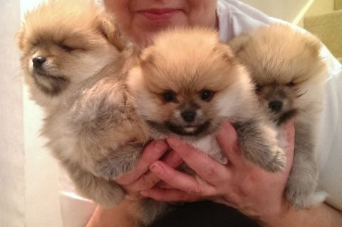 صور Handsome Miniature Teacup Pomeranian Puppy Boy 1 Left  1