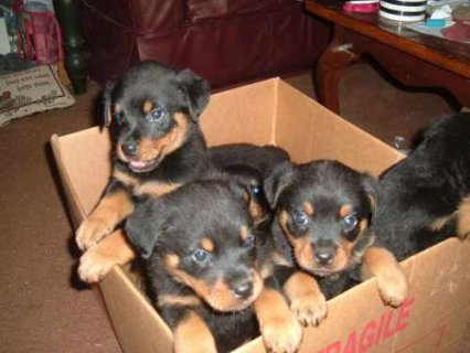 Rottweiler Puppies ready to move into a new home