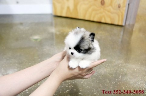 Jovial Teacup Pomeranian Pups Available