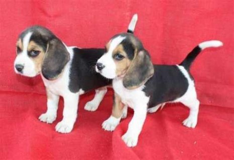 صور Male And Female Pure Breed Beagle Puppies For Adoption. 1