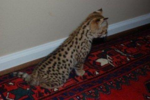 Exotic F2 savannah Kittens For Xmas
