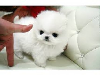 صور Super Cute Tiny Tea Cup Male and Female  Pomeranian Puppies  Ava 1