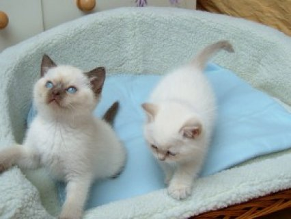Beautiful Pedigree Ragdoll Kittens<>