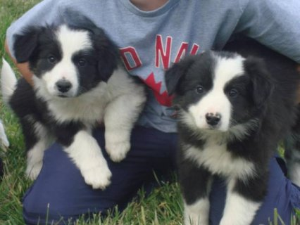 border collie puppies available for your home