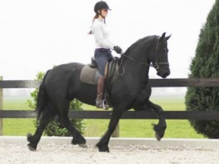 Friesian Gelding Horse for Sale .