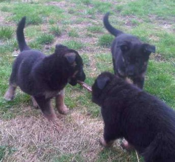 Two German shepherd puppies.