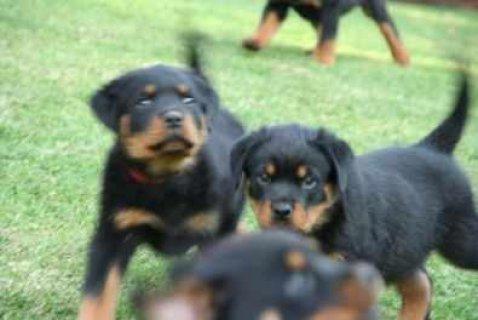 Free rottweiler puppies ready to go to any pet loving home