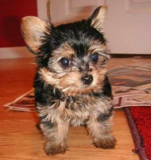 2 Gorgeous Marvelous Yorkie Puppies