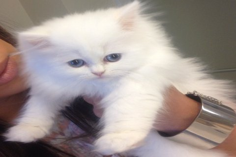 male and female persian kittens looking for a home