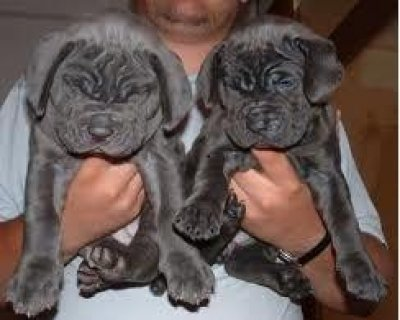 Sweet looking Neapolitan Mastiff puppies available