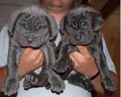 Sweet looking Neapolitan Mastiff puppies available