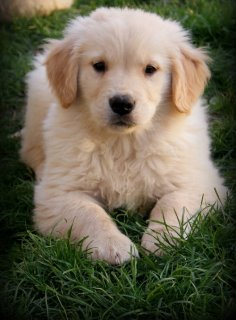 adorable golden retrieve puppies for sale