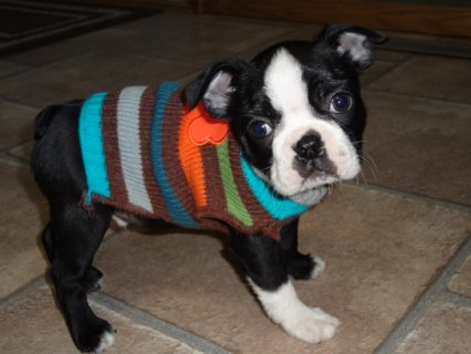 Boston Terrier puppies Avalaible