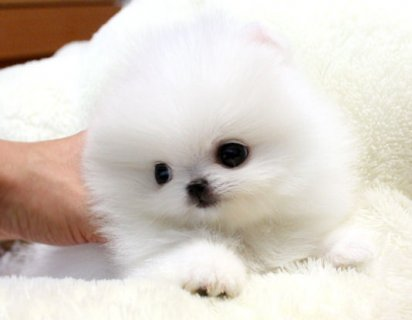 Tiny Teacup Pomeranian Puppies For Adoption.