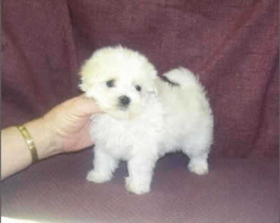 Teacup Maltese puppies Good Home