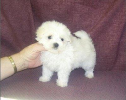 Teacup Maltese puppies Good Home