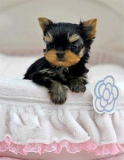Yorkie Puppies for Available For Sale Now